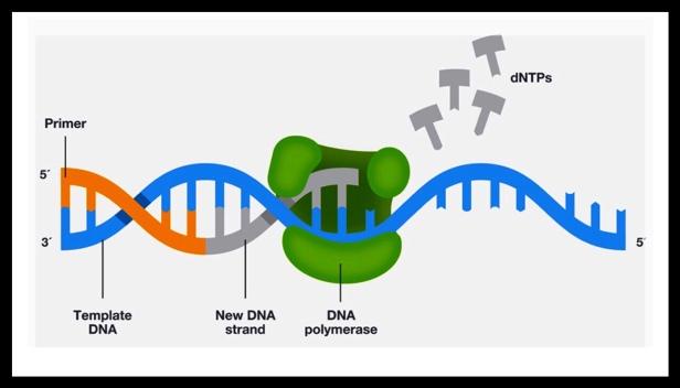 PCR DNA extension