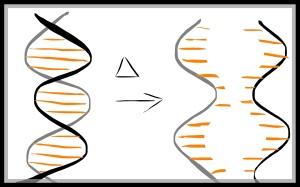 DNA denaturation PCR