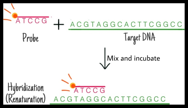 DNA hybridization DNA renaturation probe and target DNA