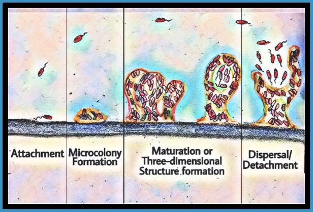 Formation of biofilm