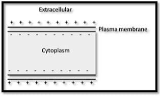 Neuron impulse resting membrane potential