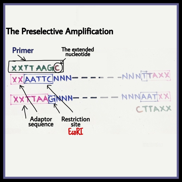 The Preselective amplification AFLP adaptor primer