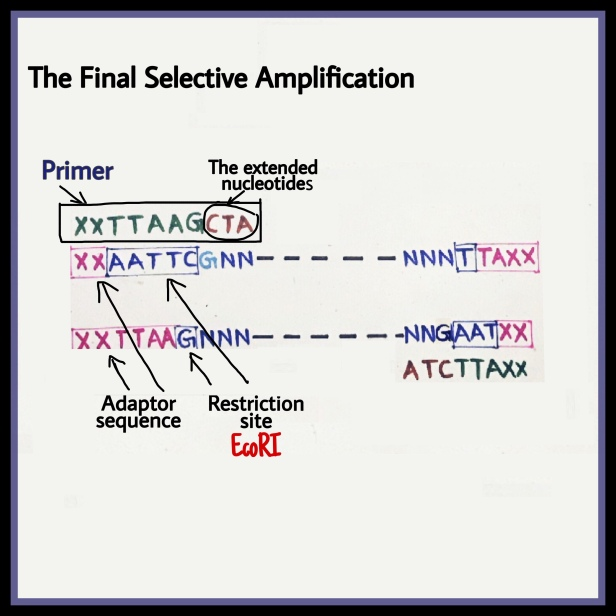 Selective Amplification AFLP adaptor