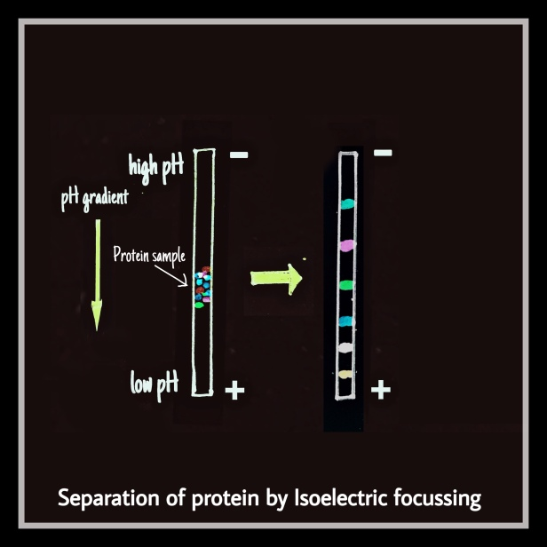 Isoelectric focussing IEF by The Biotech Notes