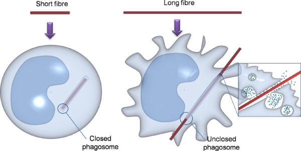 Frustated phagocytosis biofilm and immune system