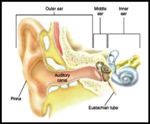 Parts of ears