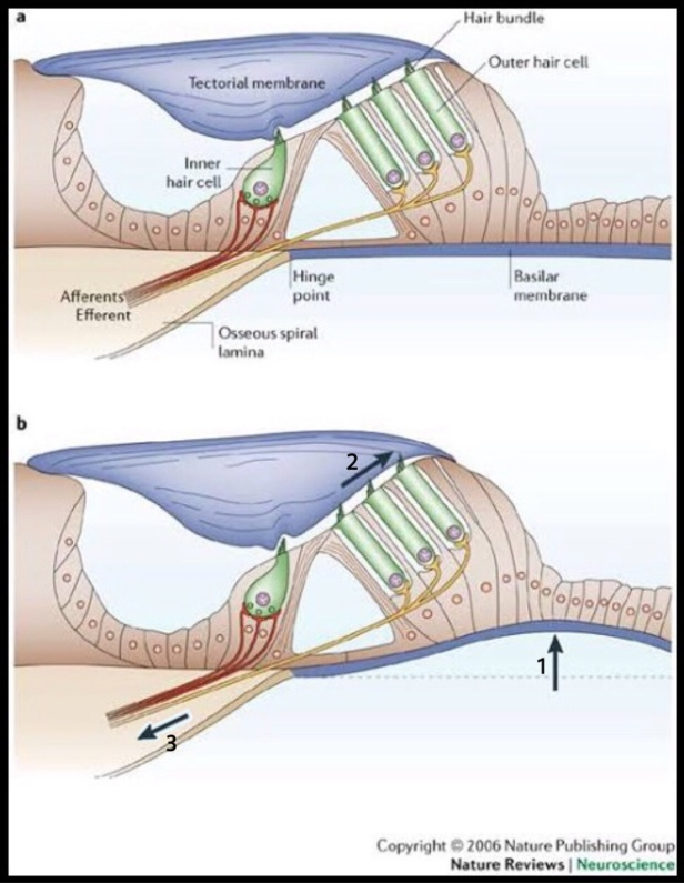 Excitation of hair cells (The Biotech Notes)