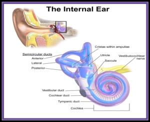 Inner ear (The Biotech Notes)