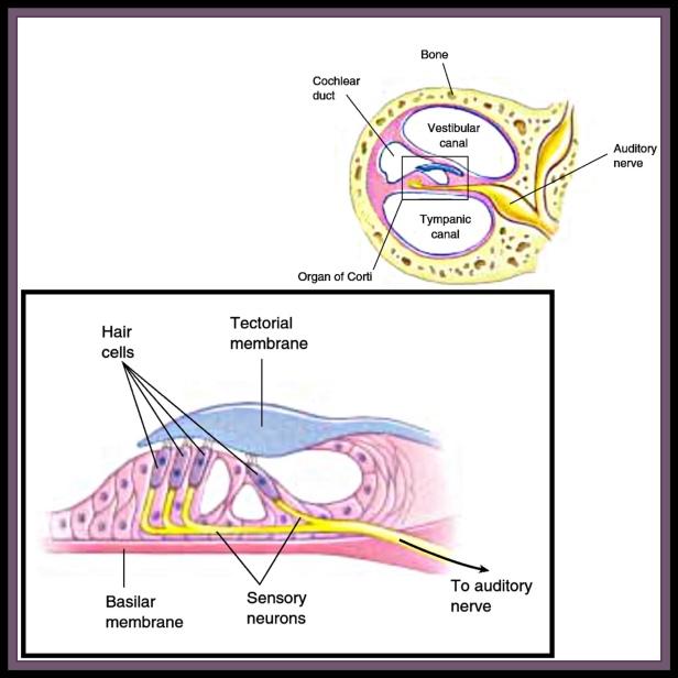 Organ of corti ( The Biotech Notes)