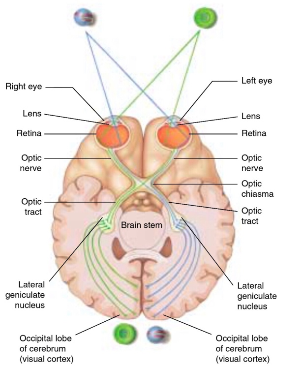Optic Nerve pathway. The Biotech Notes