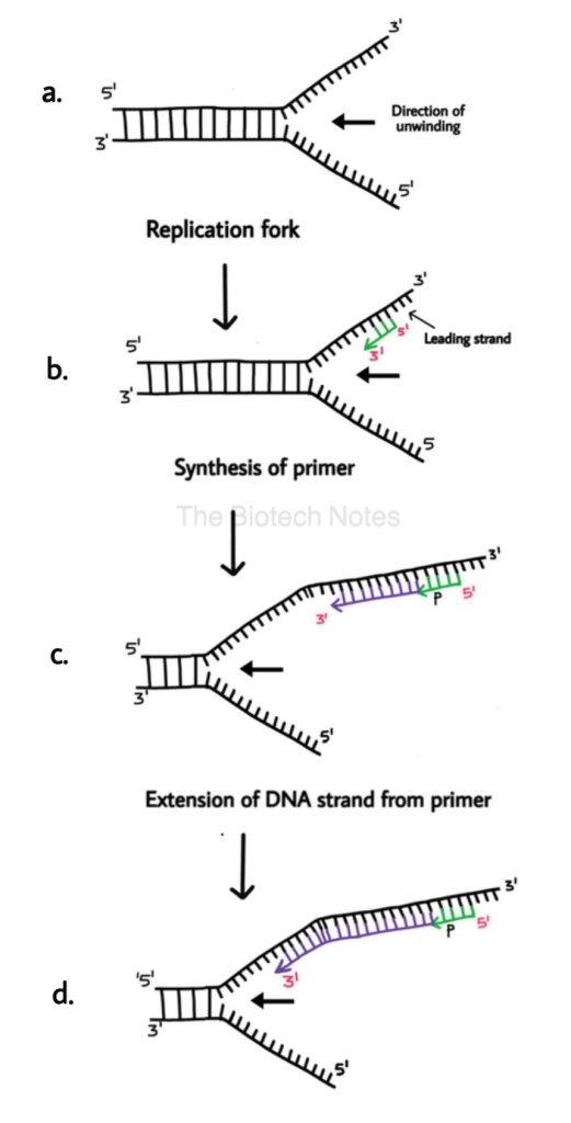 Leading strand synthesis