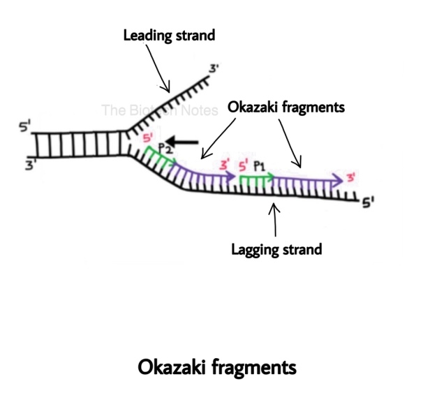 Dna Replication Eukaryotic Elongation And Termination The Biotech Notes